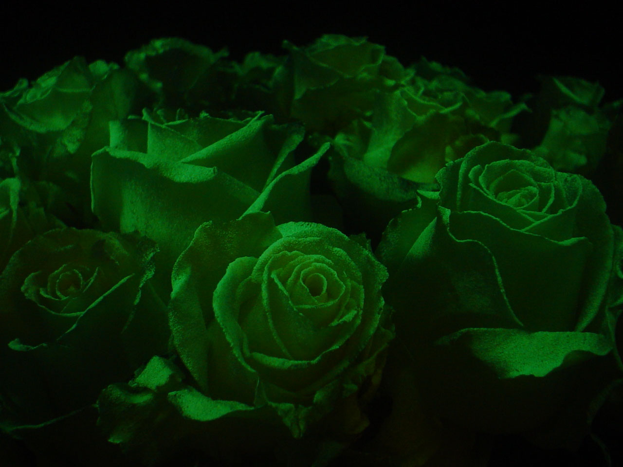 glow in the dark rose close up, Next Generation B.V.'s international patent